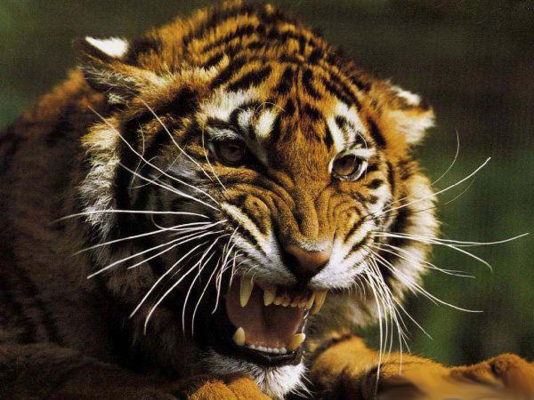 pre_1369852996__55140641_tiger1.jpg
